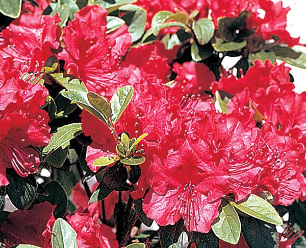 Girard's Crimson