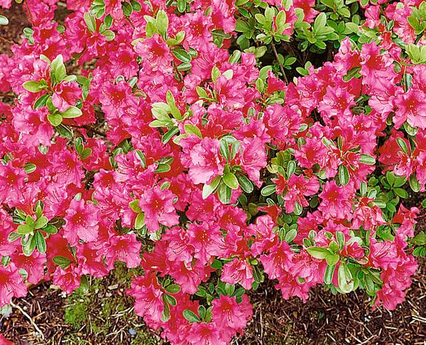 Girard's Pink