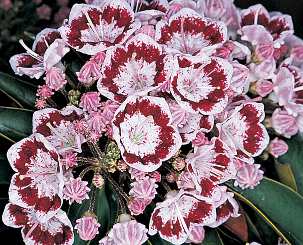 Bullseye Kalmia latifolia (Mountain Laurel)