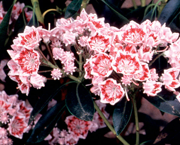 Carousel - Kalmia latifolia (Mountain Laurel)