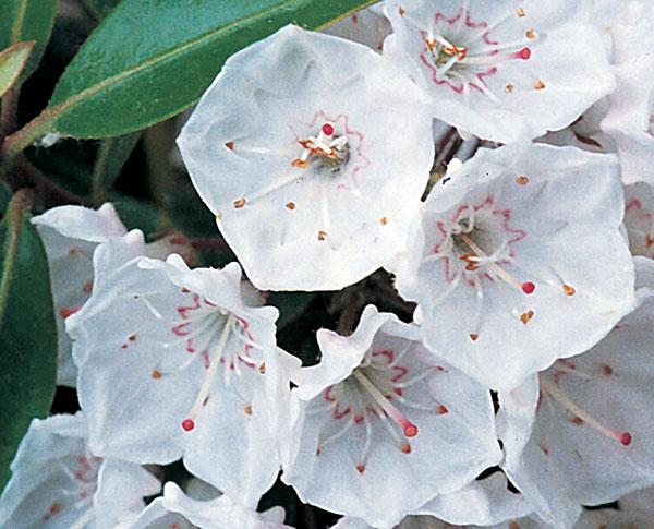 Elf - Kalmia latifolia (Mountain Laurel)