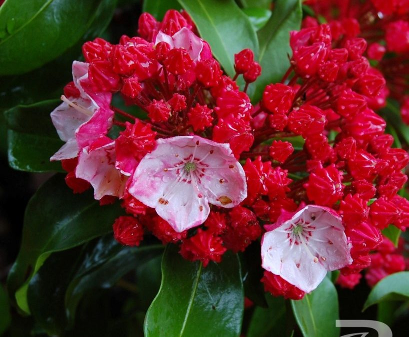 Firecracker - Kalmia latifolia (Mountain Laurel)
