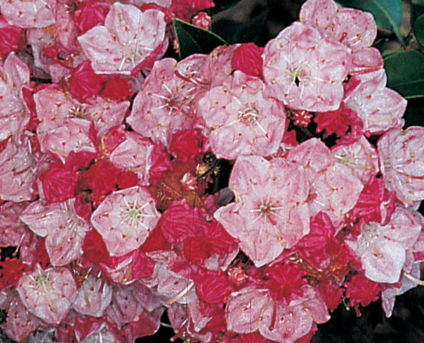 Olympic Fire - Kalmia latifolia (Mountain Laurel)