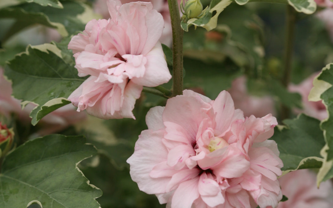 Sugar Tip® Rose of Sharon Hibiscus syriacus