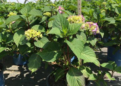 Bloomstruck - Hydrangea