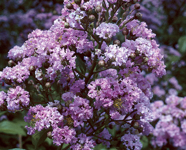 Choctaw - Lagerstroemia (Crape Myrtles)