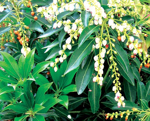 Compacta - Pieris japonica