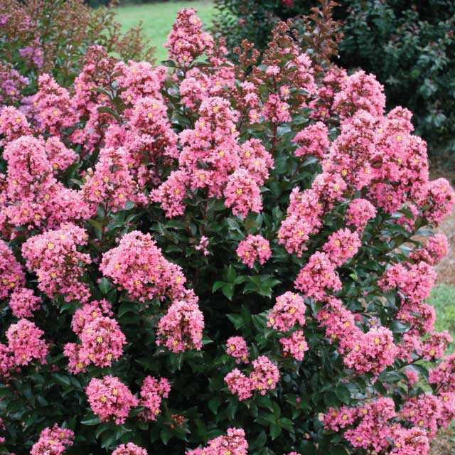 Coral Magic - Lagerstroemia (Crape Myrtles)