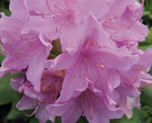 English Roseum - Rhododendron