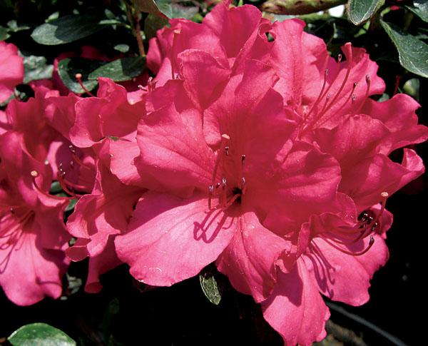 Girard's Rose - Azalea