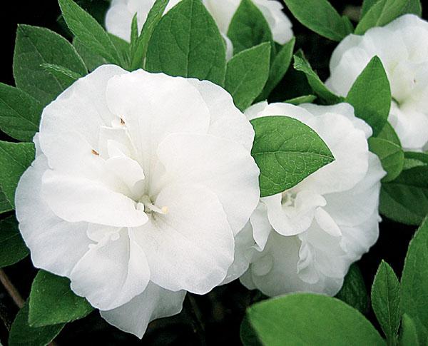 Hardy Gardenia - Azalea