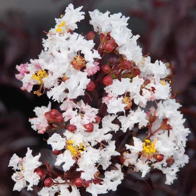 Moonlight Magic - Lagerstroemia (Crape Myrtles)