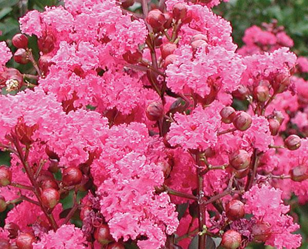 Pink Velour- Lagerstroemia (Crape Myrtles)