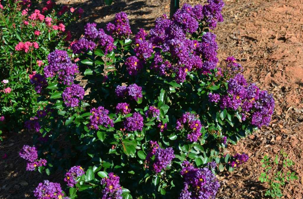 Plum Magic- Lagerstroemia (Crape Myrtles)