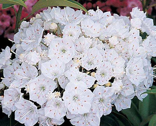 Pristine- Kalmia latifolia (Mountain Laurel)