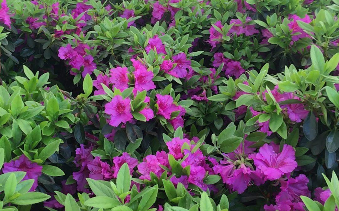 Purple Splendor - Azalea
