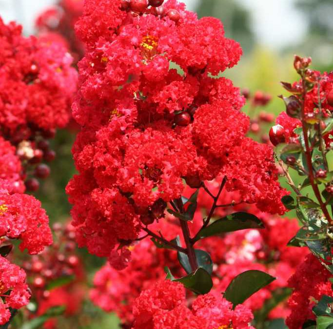 Red Magic- Lagerstroemia (Crape Myrtles)