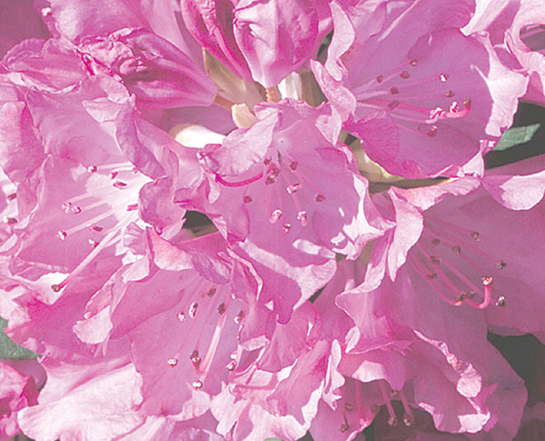 Roseum Pink - Rhododendron