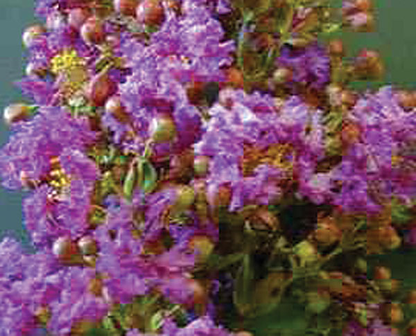 Royalty- Lagerstroemia (Crape Myrtles)