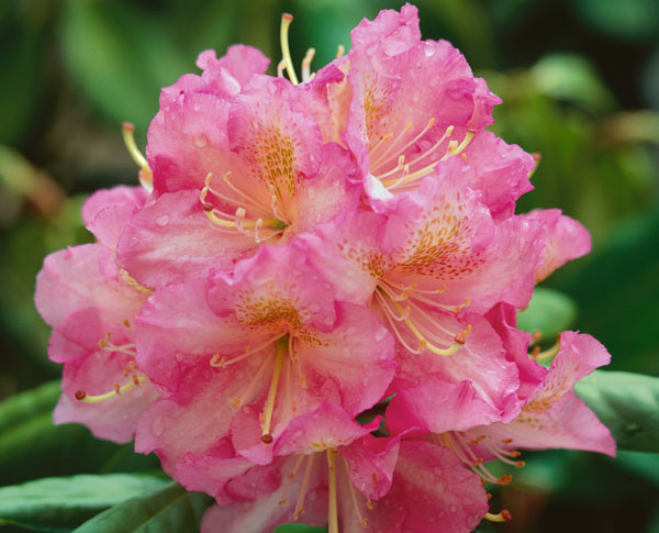 Scintillation - Rhododendron