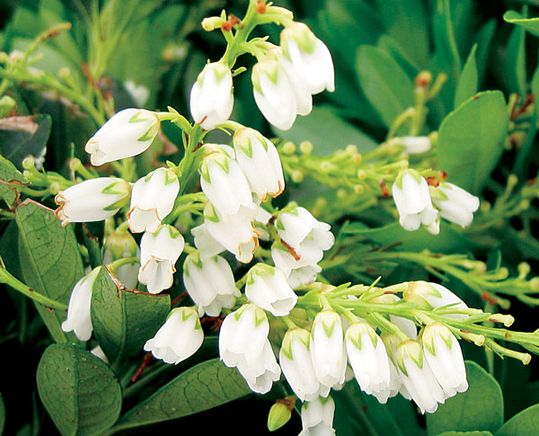 Temple Bells - Pieris japonica