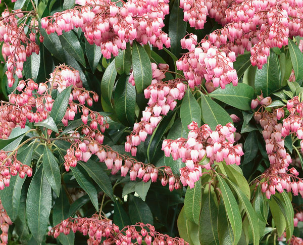 Valley Rose - Pieris japonica