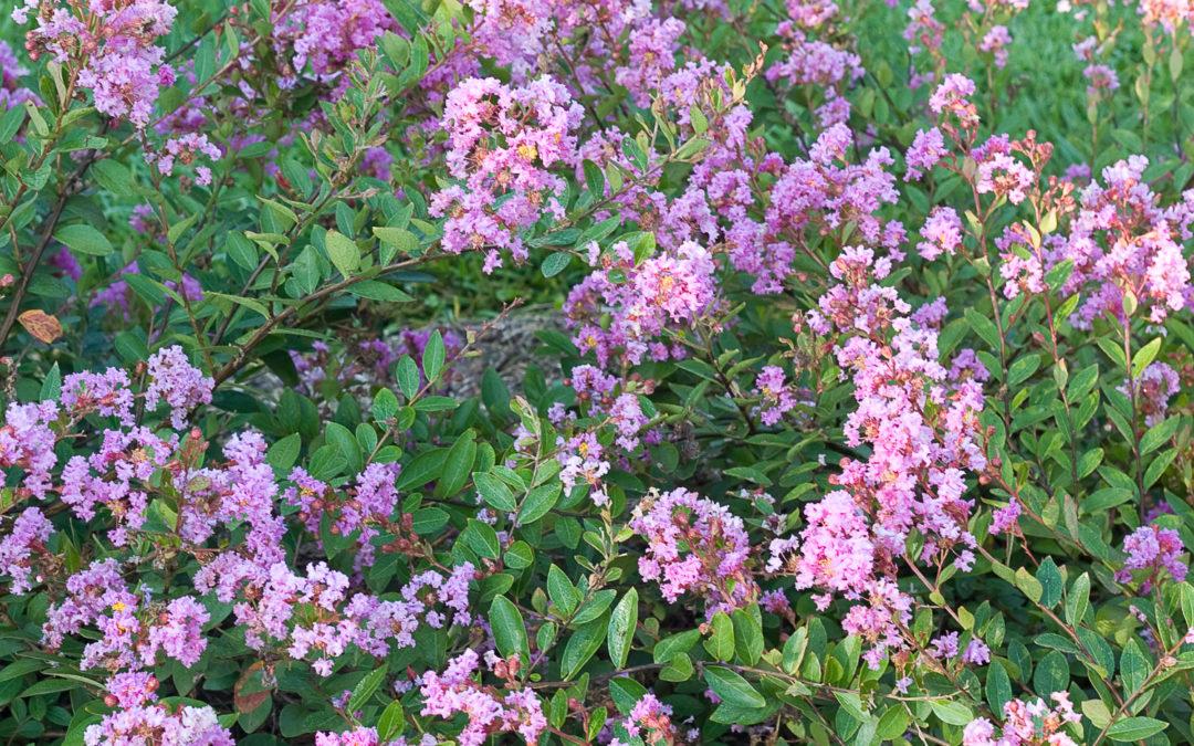 Infinitini® Orchid - Lagerstroemia (Crape Myrtles)