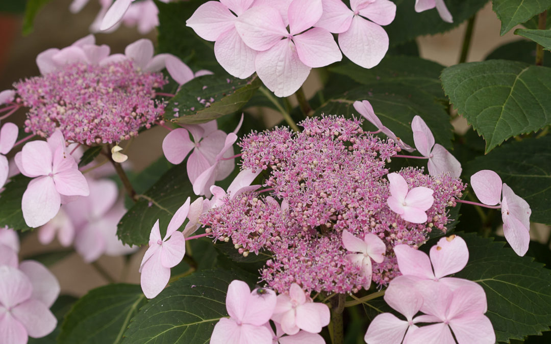 Let's Dance® Diva™ (mac.) (PW) - Hydrangea