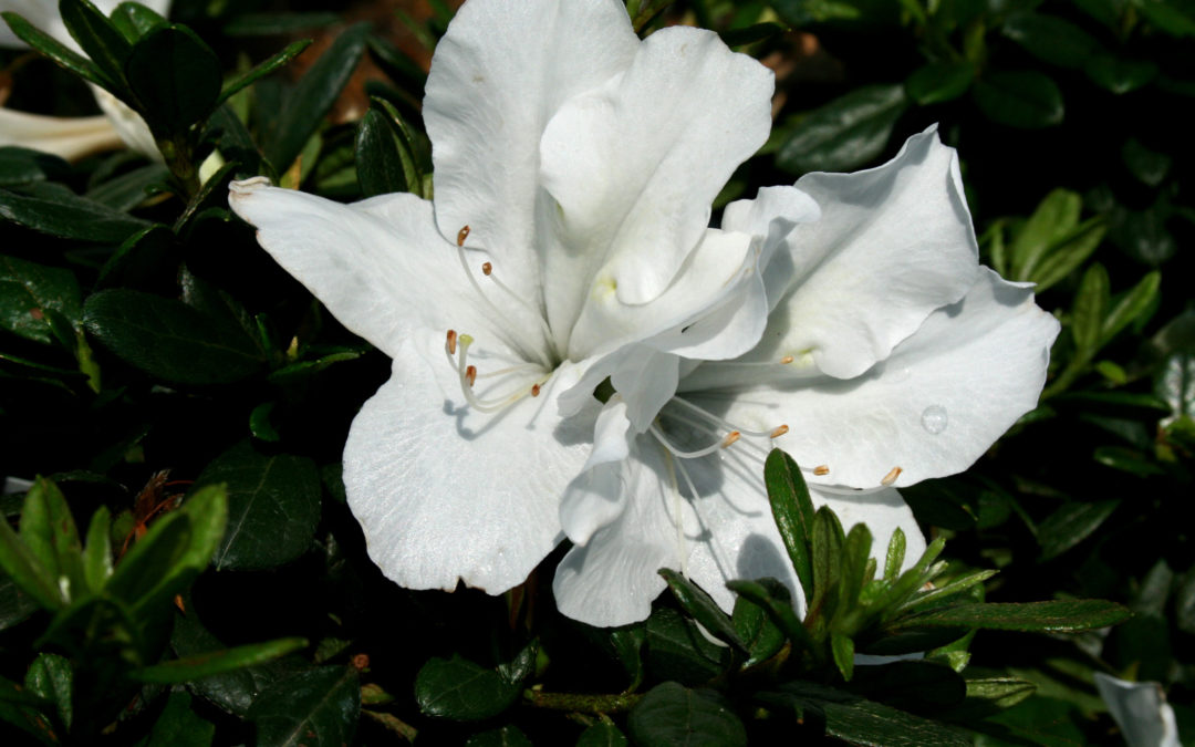 Bloom-A-Thon White - Azalea