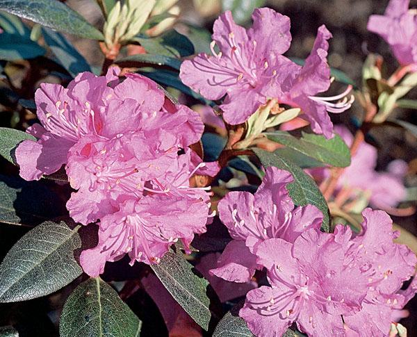 PJM - Rhododendron