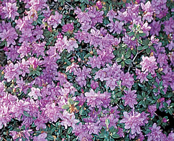 Purple Gem - Rhododendron