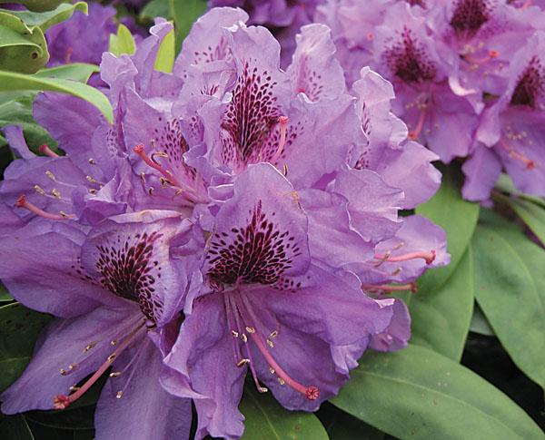 Purpureum Elegans - Rhododendron