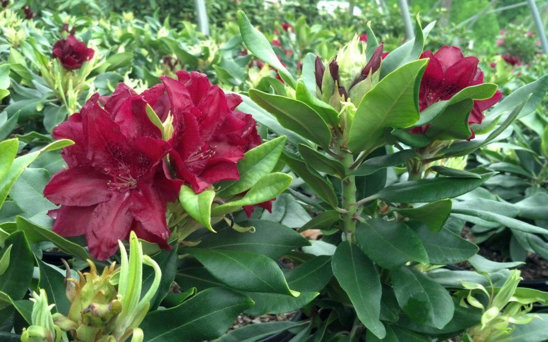 Rabatz - Rhododendron