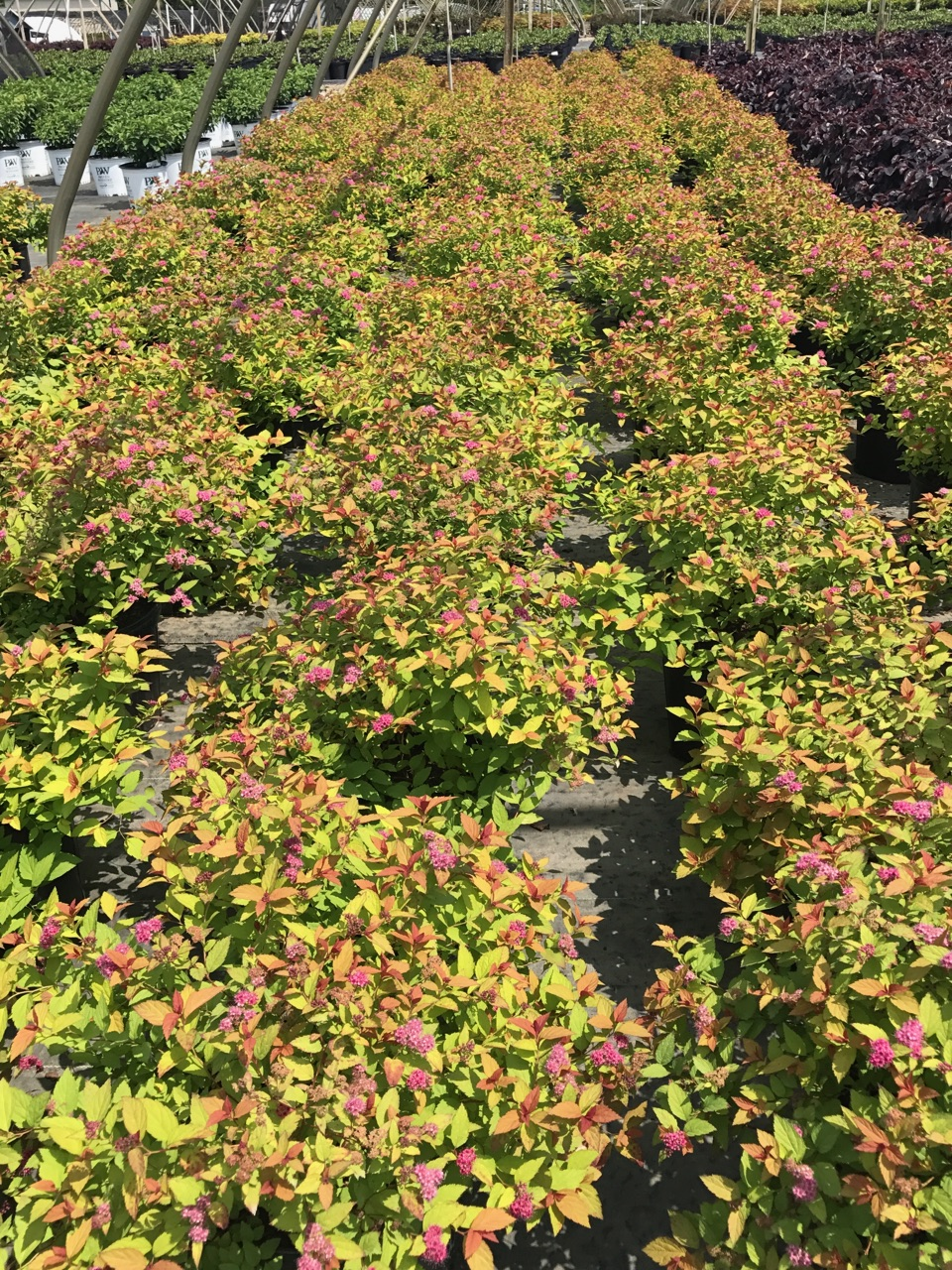Magic Carpet - Spirea