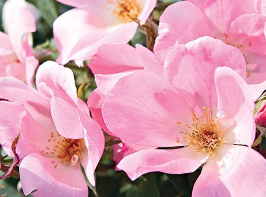Blushing Knock Out® Rose