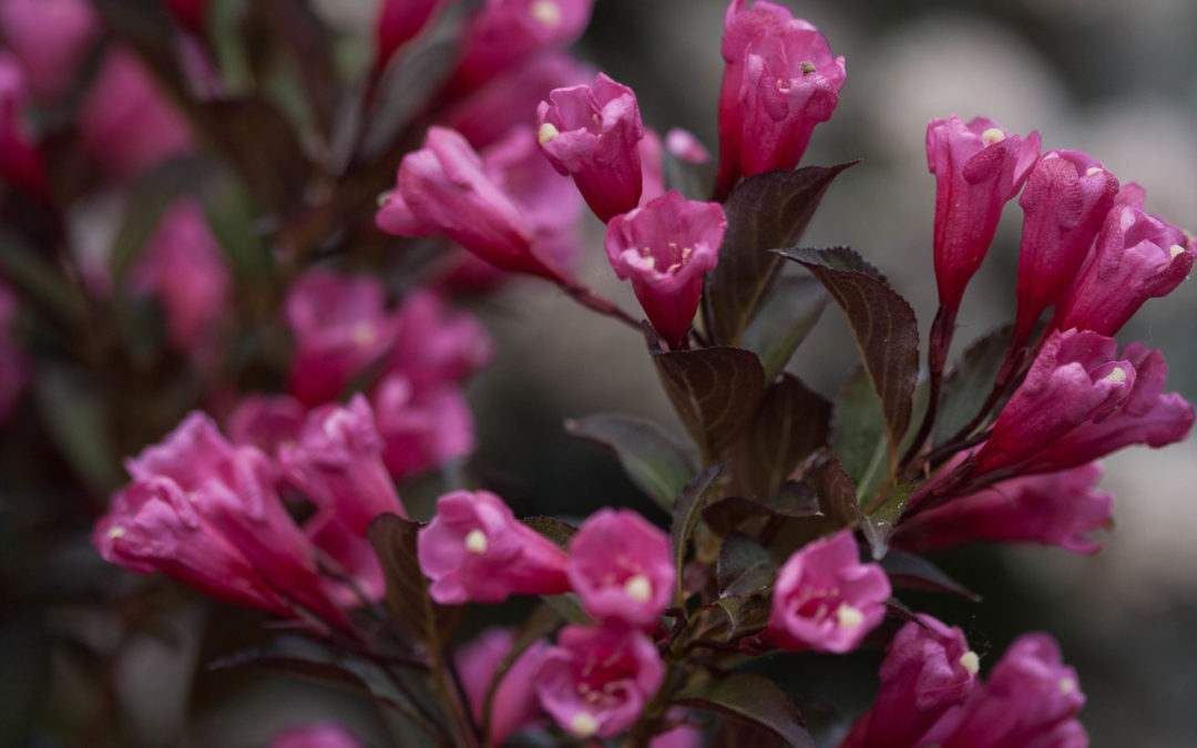 Weigela - Wine & Rose